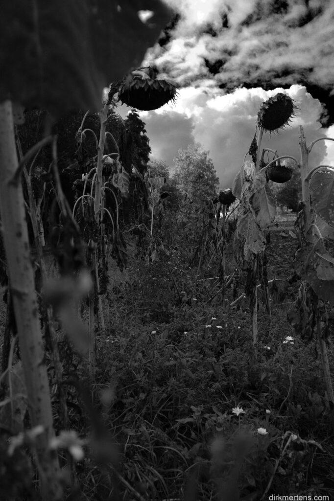 sunflowers and heavy skies